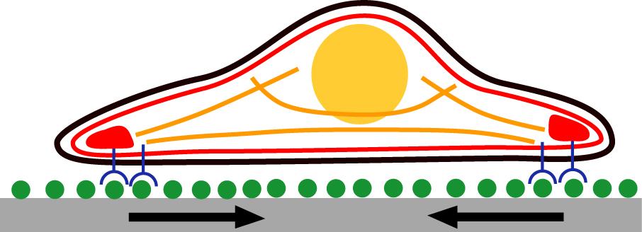 Cartoon cell adhesion